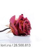 Купить «One dried red rose on a white background», фото № 28500813, снято 8 октября 2013 г. (c) Ingram Publishing / Фотобанк Лори