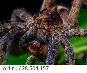 Купить «Wandering spider (Ctenus sp.) preying on a camel cricket.  South-east Atlantic forest, Tapirai, Sao Paulo, Brazil.», фото № 28504157, снято 17 июля 2018 г. (c) Nature Picture Library / Фотобанк Лори
