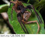 Купить «Wandering spider (Ctenus medius) feeding on a Ischnocnema frog. South-east atlantic forest, Tapirai, Sao Paulo, Brazil.», фото № 28504161, снято 21 августа 2018 г. (c) Nature Picture Library / Фотобанк Лори