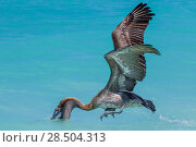 Купить «Galapagos brown pelican (Pelecanus occidentalis) hunting, Santa Cruz Island, Galapagos.», фото № 28504313, снято 15 августа 2018 г. (c) Nature Picture Library / Фотобанк Лори