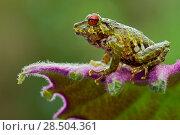 Купить «Moss rainfrog (Pristimantis eriphus) siting on leaf, Cosango, Napo Ecuador, Vulnerable species.», фото № 28504361, снято 18 октября 2019 г. (c) Nature Picture Library / Фотобанк Лори
