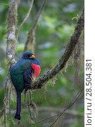 Купить «Masked trogon (Trogon personatus) male perched, Mindo, Pichincha, Ecuador.», фото № 28504381, снято 18 октября 2019 г. (c) Nature Picture Library / Фотобанк Лори