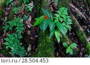 Купить «Little-devil poison frog (Oophaga sylvatica) on leaves, Canande, Esmeraldas, Ecuador.», фото № 28504453, снято 21 августа 2018 г. (c) Nature Picture Library / Фотобанк Лори