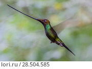 Купить «Sword billed hummingbird (Ensifera ensifera) in flight, Guango, Napo, Ecuador.», фото № 28504585, снято 18 октября 2019 г. (c) Nature Picture Library / Фотобанк Лори