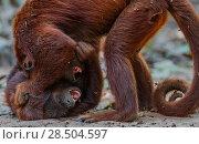 Купить «Two Red howler monkeys (Alouatta seniculus) fighting, Tambopata, Madre de Dios, Peru.», фото № 28504597, снято 20 ноября 2019 г. (c) Nature Picture Library / Фотобанк Лори