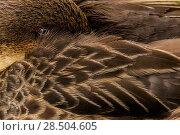 Купить «White-cheeked pintail (Anas bahamensis galapagensis) resting, Santa Cruz Island, Galapagos.», фото № 28504605, снято 21 июня 2018 г. (c) Nature Picture Library / Фотобанк Лори