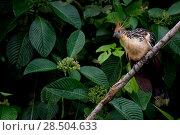 Купить «Hoatzin (Opisthocomus hoazin) perched on branch, Yasuni National Park, Orellana, Ecuador.», фото № 28504633, снято 18 октября 2019 г. (c) Nature Picture Library / Фотобанк Лори