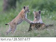 Купить «Two cute juvenile Eurasian Lynx ( Lynx lynx ) playing with each other, looks cute, Europe.», фото № 28507677, снято 1 августа 2011 г. (c) age Fotostock / Фотобанк Лори