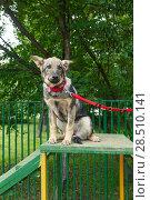 Купить «Puppy is trained at the dog Park», фото № 28510141, снято 22 мая 2018 г. (c) Okssi / Фотобанк Лори