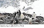 Купить «Gentoo Penguins on the nest», видеоролик № 28511713, снято 16 января 2018 г. (c) Vladimir / Фотобанк Лори