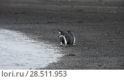 Купить «Chinstrap Penguins on the beach», видеоролик № 28511953, снято 15 января 2018 г. (c) Vladimir / Фотобанк Лори