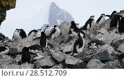 Купить «Chinstrap Penguins on the nest», видеоролик № 28512709, снято 18 января 2018 г. (c) Vladimir / Фотобанк Лори
