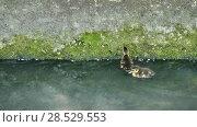 Купить «Little ducklings are swimming along small canal», видеоролик № 28529553, снято 9 мая 2018 г. (c) BestPhotoStudio / Фотобанк Лори