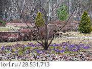 Купить «Расцветающий крокус весенний или шафран весенний (Crocus vernus) в Малом розарии парка Сокольники. Москва», эксклюзивное фото № 28531713, снято 21 апреля 2013 г. (c) Алёшина Оксана / Фотобанк Лори