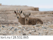 Купить «Nubian Ibex (Capra nubiana) in desert, Makhtesh Ramon, Negev Desert, Israel», фото № 28532865, снято 1 января 2017 г. (c) Ingram Publishing / Фотобанк Лори