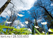 Купить «White snowdrops in the early spring on a glade against the background of the blue sky and branches of trees», фото № 28533653, снято 21 мая 2017 г. (c) Куликов Константин / Фотобанк Лори