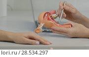 Gynecologist doctor consulting patient using uterus anatomy model. Стоковое фото, фотограф Vasily Alexandrovich Gronskiy / Фотобанк Лори