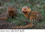 Dwarf mongoose (Helogale parvula). Masai Mara National Reserve, Kenya. Стоковое фото, фотограф Anup Shah / Nature Picture Library / Фотобанк Лори