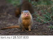 Dwarf mongoose (Helogale parvula). watching alert  Masai Mara National Reserve, Kenya. Стоковое фото, фотограф Anup Shah / Nature Picture Library / Фотобанк Лори