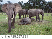 Купить «African elephant (Loxodonta africana) herd surrounding resting young to protect them  Masai Mara National Reserve, Kenya.», фото № 28537881, снято 27 марта 2019 г. (c) Nature Picture Library / Фотобанк Лори