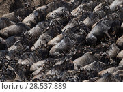 Купить «Eastern white-bearded wildebeest (Connochaetes taurinus) herd waiting to cross the Mara River,  Masai Mara National Reserve, Kenya.», фото № 28537889, снято 27 марта 2019 г. (c) Nature Picture Library / Фотобанк Лори
