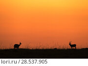 Купить «Thomson's gazelles (Eudorcas thomsonii) at sunrise, Masai Mara Kenya, August.», фото № 28537905, снято 27 марта 2019 г. (c) Nature Picture Library / Фотобанк Лори