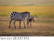 Купить «Common or Plains zebra  (Equus quagga burchellii) female and foal, Masai Mara National Reserve, Kenya.», фото № 28537913, снято 27 марта 2019 г. (c) Nature Picture Library / Фотобанк Лори