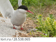 Купить «Arctic tern (Sterna paradisaea) stretching wings next to nest with two eggs in it, Machias Seal Island, Bay of Fundy, New Brunswick, Canada, May.», фото № 28538065, снято 20 августа 2018 г. (c) Nature Picture Library / Фотобанк Лори
