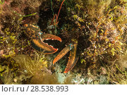 Купить «American / Northern lobster (Homarus americanus) hiding in hole, Nova Scotia, Canada, July.», фото № 28538993, снято 16 августа 2018 г. (c) Nature Picture Library / Фотобанк Лори