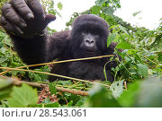 Купить «Mountain gorilla (Gorilla beringei beringei) juvenile female stretching hand out towards camera, member of the Kabirizi group, Virunga National Park, North...», фото № 28543061, снято 27 июня 2019 г. (c) Nature Picture Library / Фотобанк Лори