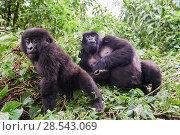 Купить «Mountain gorillas (Gorilla beringei beringei) female relaxing with baby exploring, members of the Kabirizi group, Virunga National Park, North Kivu, Democratic...», фото № 28543069, снято 21 марта 2019 г. (c) Nature Picture Library / Фотобанк Лори