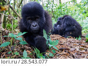 Купить «Mountain gorilla (Gorilla beringei beringei) juvenile male, aged 2 years, approaching camera, member of the Munyaga group, Virunga National Park, North...», фото № 28543077, снято 27 июня 2019 г. (c) Nature Picture Library / Фотобанк Лори