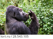 Купить «Mountain gorilla  (Gorilla beringei beringei) silverback male 'Humba' feeding on Driver ants (Dorylus sp), a socially acquired and transmitted taste, Virunga...», фото № 28543105, снято 19 августа 2019 г. (c) Nature Picture Library / Фотобанк Лори