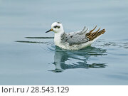 Grey phalarope (Phalaropus fulicarius) winter visitor on inland lake,  Sandy Water Park, Carmarthenshire,   West Wales, UK, October. Стоковое фото, фотограф Melvin Grey / Nature Picture Library / Фотобанк Лори