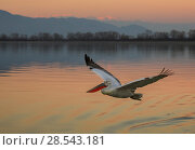 RF- Dalmatian pelican (Pelecanus crispus) flying at sunset, Lake Kerkini, Greece, January. (This image may be licensed either as rights managed or royalty free.) Стоковое фото, фотограф Andy Rouse / Nature Picture Library / Фотобанк Лори