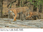 Купить «RF- Bengal tiger (Panthera tigris) female 'Leila' with cub, Ranthambhore, India, Endangered species.», фото № 28543185, снято 19 августа 2018 г. (c) Nature Picture Library / Фотобанк Лори