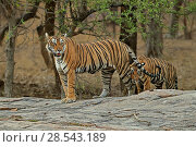 Купить «Bengal tiger (Panthera tigris) female 'Leila' with shy cub, Ranthambhore, India, Endangered species.», фото № 28543189, снято 17 сентября 2018 г. (c) Nature Picture Library / Фотобанк Лори