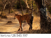 Купить «Bengal tiger (Panthera tigris) female 'Noor' scent marking, Ranthambhore, India, Endangered species.», фото № 28543197, снято 22 июля 2018 г. (c) Nature Picture Library / Фотобанк Лори