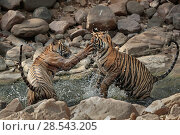 Купить «Bengal tiger (Panthera tigris) cubs playing in waterhole, Ranthambhore, India, Endangered species.», фото № 28543205, снято 19 августа 2018 г. (c) Nature Picture Library / Фотобанк Лори