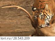Купить «Bengal tiger (Panthera tigris) female 'Noor' with Chital kill, Ranthambhore, India, Endangered species.», фото № 28543209, снято 22 июля 2018 г. (c) Nature Picture Library / Фотобанк Лори