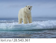 Купить «Polar bear (Ursus maritimus) standing on the edge of the pack ice, Svalbard, Norway. June.», фото № 28543361, снято 18 августа 2018 г. (c) Nature Picture Library / Фотобанк Лори
