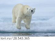 Купить «Polar bear (Ursus maritimus) standing at the edge of the pack ice, Svalbard, Norway. June.», фото № 28543365, снято 18 августа 2018 г. (c) Nature Picture Library / Фотобанк Лори