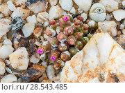 Купить «Endemic succulent (Oophytum nanum) in bud, growing among quartz pebbles in the Knersvlakte, Western Cape, South Africa.», фото № 28543485, снято 18 сентября 2018 г. (c) Nature Picture Library / Фотобанк Лори