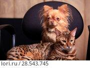 Купить «A Chihuahua dog and a Bengal cat sit side by side», фото № 28543745, снято 2 июня 2018 г. (c) Яна Королёва / Фотобанк Лори