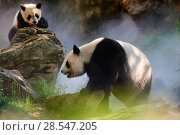 Купить «Giant panda (Ailuropoda melanoleuca) female Huan Huan and her cub out in their enclosure in mist. Yuan Meng, first giant panda ever born in France, age...», фото № 28547205, снято 25 июня 2018 г. (c) Nature Picture Library / Фотобанк Лори