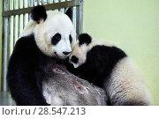 Купить «Giant panda cub (Ailuropoda melanoleuca) Yuan Meng suckling from his mother Huan Huan. Yuan Meng, first giant panda ever born in France, age 10 months...», фото № 28547213, снято 20 мая 2019 г. (c) Nature Picture Library / Фотобанк Лори