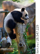 Купить «Giant panda (Ailuropoda melanoleuca) cub climbing and exploring during its enclosure. Yuan Meng, first giant panda ever born in France,  age 10 months...», фото № 28547229, снято 25 июня 2018 г. (c) Nature Picture Library / Фотобанк Лори
