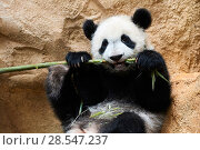 Купить «Giant panda (Ailuropoda melanoleuca) cub playfuly chewing a bamboo stick. Yuan Meng, first giant panda ever born in France, is now 10 months old and still...», фото № 28547237, снято 27 мая 2019 г. (c) Nature Picture Library / Фотобанк Лори