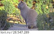 Купить «Grey cat walks along fallen leaves», видеоролик № 28547289, снято 28 февраля 2018 г. (c) BestPhotoStudio / Фотобанк Лори