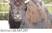 Купить «wild yak (Bos mutus)», видеоролик № 28547297, снято 19 февраля 2018 г. (c) BestPhotoStudio / Фотобанк Лори